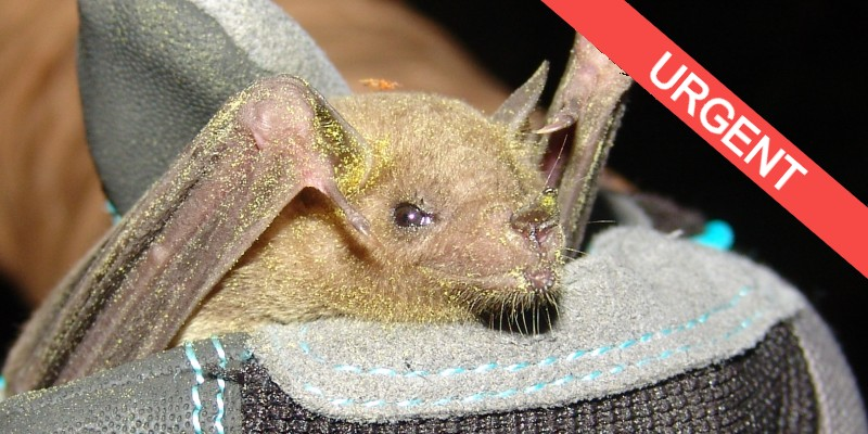 Mexican long-nose bat